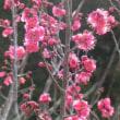紅梅もやがて咲くらん日本列島