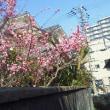 主いぬ家の庭に今年も咲く梅の花