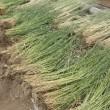 麦の刈り取り完了