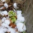 雪をまとったフキノトウ