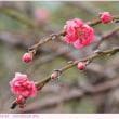 ハナモモ 〈花桃〉  季節外れの開花