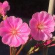 ロッキーの花