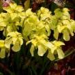 サラセニア(食虫植物)