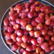 今年も苺がたくさん収穫できました