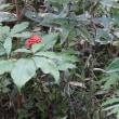 野の花(タマブキ  マムシグサ チヂミザサ ヤクシソウ)