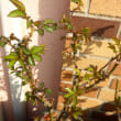バラの芽生え 大苗1年目の鉢①
