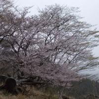 富士山は雲の中,でも桜を堪能した丹沢;塔ノ岳(2019年12回目)