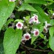 戻り梅雨に咲く変な名の花