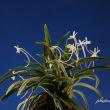 富貴蘭「出雲金斑」の花