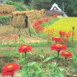 彼岸花と農村風景3