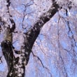 川越散策中院のしだれ桜