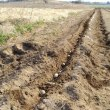 ジャガイモの植え付け