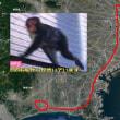 平塚からお猿さんが遂に佐倉市へ120キロ