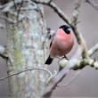 今日の野鳥  ルリビタキ  ・  アオジ  ・  ウソ