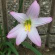 立ち往生の花