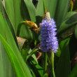 <ポンテデリア> 代表種「コルダータ」は和名「長葉水葵」