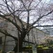 桜もうすぐ