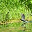 泉の沼のバン