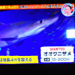 5/21 7年ぶりに連れたサメ