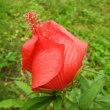 紅葉葵、発芽140日目