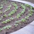 菜園の野菜達も順調に・・・