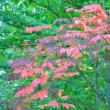 かぶれない様にご注意! 山漆の紅葉です。