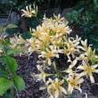 黄色ヒガンバナ(ショウキズイセン)が咲きました(^_-)-☆