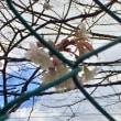 陽あたりの児童公園ふゆ桜