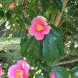 松花堂庭園の椿(個人的)