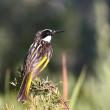 西オーストラリア パース探鳥ー8