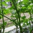 ジャガイモ マルチ栽培