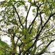 つるぎ町の巨樹2種