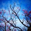 『紅梅』 空の青さ