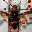 採集中に怖いオオスズメバチ♀