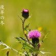 Vol.2068 日南では、野アザミが咲きだしましたよ。 (Photo No.14420)