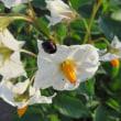 野菜畑の花たち・・・・二星テントウムシ#