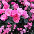バラの花が、とても素敵です
