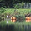 17年9/19~木曽川~アオサギ