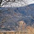 ■松ヶ丘河川公園180111(2)オオハクチョウ