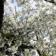 真っ白な桜今年も満開を観る