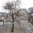 枝垂れ梅 №53  白藤枝垂