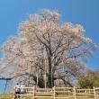 「来年もまた来ようね」 福島県 古殿町 越代のサクラにて撮影!
