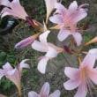 スクアミゲラ(リコリス)・シロタエ向日葵