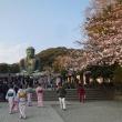 江島神社から鎌倉への桜行