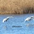 白鳥走る 2