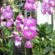 デンファレ Dendrobium Phalaenopsis
