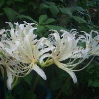 9月の我が家の花たち