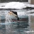 ジェンツーペンギンのイルカジャンプ!