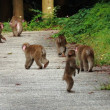 金沢市南部の山里に野猿の群れ