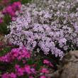 今日の日吉八幡神社境内の花